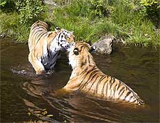 Photo of tigers playing at the Ranthambore National Park in India
