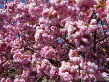 Photo of cherry blossom in the spring