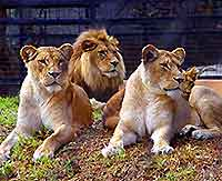 Picture of lions at the zoo