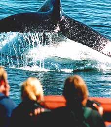 Image of a Humpback Whale Fluke