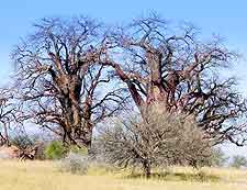 Picture of the Baines Baobabs (Seven Sisters)