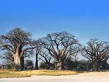 Picture of the famous Baines Baobabs (Seven Sisters) at the Nxai Pan