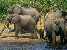 Photo of African elephants at Chobe National Park