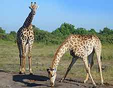 Picture of wild giraffes at Chobe National Park