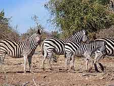 Image of zebras at Makgadikgadi Pans National Park
