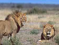 Image of lions, taken at the Central Kalahari Game Reserve