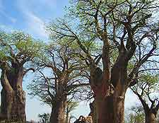 Further picture of the Baines Baobabs in Nxai Pan National Park
