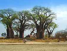 Baines Baobabs (Seven Sisters) picture