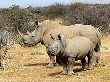 Photo of wild white rhinos in Africa