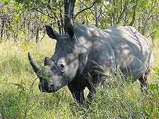 Picture of white rhino at Mokolodi Nature Reserve