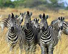 Image of zebras at the Chobe National Park