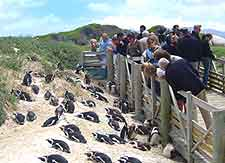 Boulders Beach photo, showing local penguins