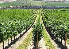 Vineyard picture