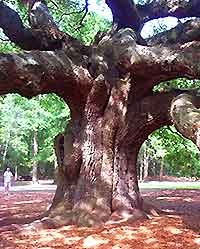 Photo of the Angel Oak on John's Island