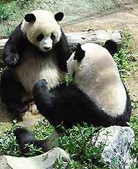 Picture of Giant Pandas at the city's Zoo and Arboretum