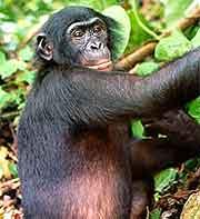 Image taken at the AAC Bonobo Nursery Sanctuary