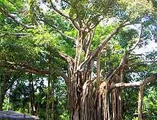 Photo of mature fig tree at the Kisantu Botanical Gardens