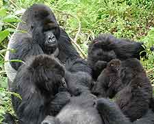 Photo of mountain gorillas in the Virunga National Park