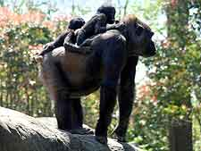 Image of gorillas, taken at the Kahuzi Biega National Park