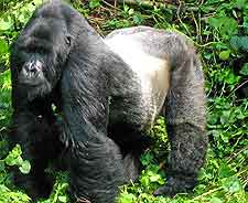 Different picture of gorillas in the Virunga National Park