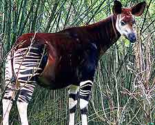Photograph taken at the Okapi National Park