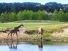 Photo of giraffes drinking at the Beekse Bergen Safari Park