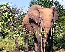Picture of African elephant at the Mole National Park