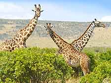 Image of giraffes at the Aberdare National Park