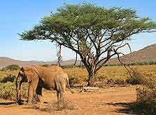 Picture of African elephants at the Samburu National Reserve