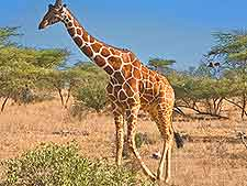 Giraffe photo, taken at the Samburu National Reserve