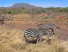 Zebra photo, taken at the Tsavo National Park