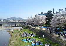 Photo of Kamogawa River and the 'hanami' (cherry blossom)