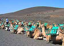 Snapshot of camels used for trekking in the National Park of Timanfaya, Lanzarote