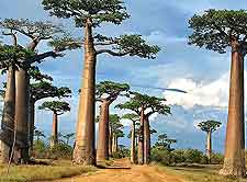 Avenue of the Baobabs photo