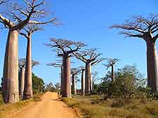 Photo showing the famous Avenue of the Baobabs