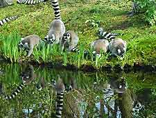 Picture of ring-tailed lemurs in Madagascar, Africa
