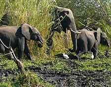 Liwonde National Park image of elephants