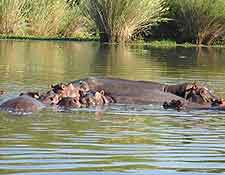 Picture of hippos bathing at the Liwonde National Park