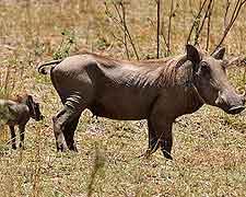 Majete Wildlife Reserve warthog photo