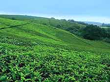 Thyolo Tea Estates view