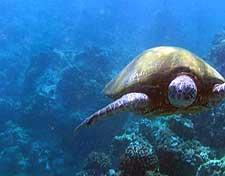 Green sea turtle photo, taken by scuba diver