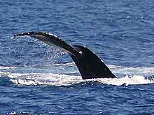 Picture of a whale off Maui