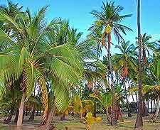 Image of the famous Kapuaiwa Coconut Grove