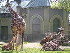 Picture of giraffes at the Hellabrunn Wildlife Park
