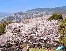 Picture of cherry trees in Kazagashira Park