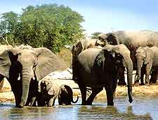 Elephants drinking at the Etosha National Park