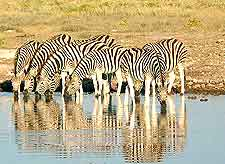 Image of zebras drinking in the Etosha National Park