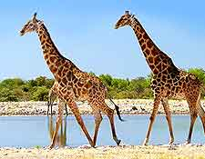 Close-up picture of two giraffes in the Etosha National Park