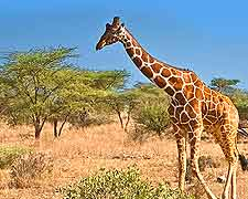 Giraffe photo, taken at the Etosha National Park