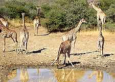 Photograph of giraffes socialising around a waterhole in the Etosha National Park